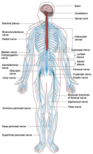 Labeled diagram of human nervous system