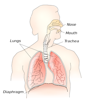 Human respiratory system: nose, mouth, trachea, lungs, and diaphragm
