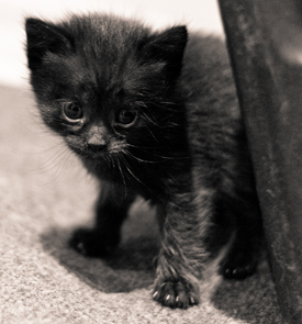 Tiny black kitten with huge black eyes