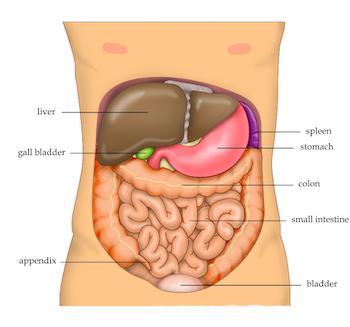 Abdominal organs
