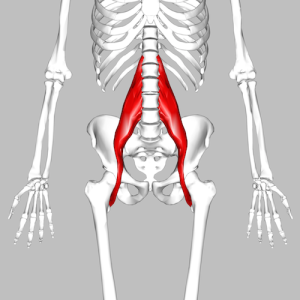 Human skeleton showing psoas muscles