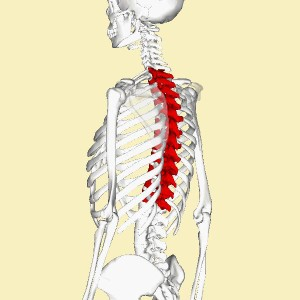 Human skeleton side/back view with thoracic spine highlighted.