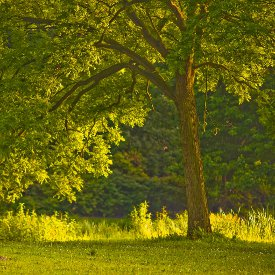 Close-up tree in meadow, bathed in light